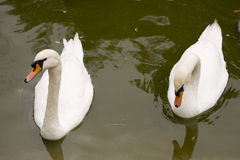 Pair of white swans. A background of green water stock photos