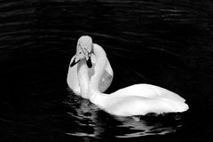 A pair of white swans Stock Photo