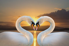 Pair of white swans. On a background of dawn stock photography