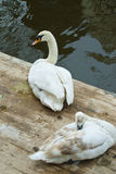 Pair of white swans Stock Photos