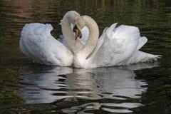 A white swan couple royalty free stock photo