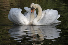 A white swan couple royalty free stock images