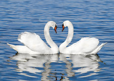 Pair of white swans. A couple of white swans stock photography