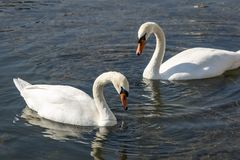 A pair of white swans Cygnus olor feeding on aquatic plants on the lake stock photos