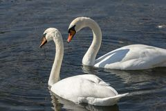 A pair of white swans Cygnus olor feeding on aquatic plants on the lake in Goryachiy Klyuch. stock photo