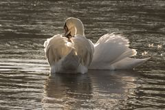 A pair of white swans in the early morning sunshine stock images