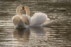 A pair of white swans in the early morning sunshine royalty free stock image