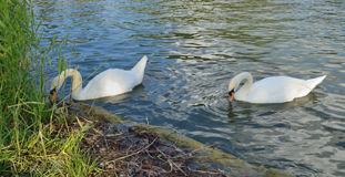Pair of white swans eating food in thickets pond Stock Photo