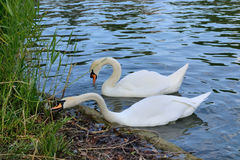 Pair of white swans eating food in thickets pond Royalty Free Stock Image