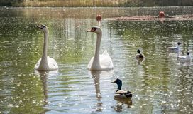 A pair of white swans floating in the lake in the company of ducks and gulls royalty free stock image