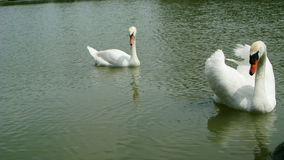 Pair of white swans foraging in the lake,full HD. Two white swans float on sparkling water in a lake,full HD stock footage