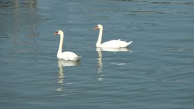 Pair of white swans on lake. Pair of white swans on a lake stock video