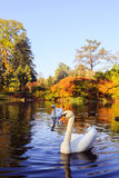 Pair of white swans on the lake Stock Images