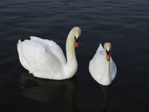 Pair of White Swans on Lake Stock Images