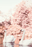 Pair of white swans on the lake Stock Photography
