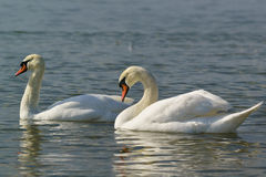 Pair of white swans mute lat. Cygnus olor is a bird of the duck family on the water. Beautiful pair of adult white swans mute lat. Cygnus olor is a bird of the royalty free stock image