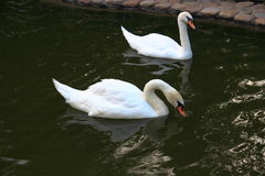 A pair of white swans on a pond Stock Photo