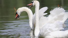 Pair of white swans protect their offspring from people stock footage