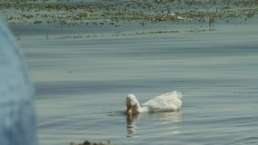 A pair of white swans swim in Ohrid Lake. Calm lake water surface at sunny summer day. Lake Landscape stock video footage
