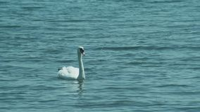 A pair of white swans swim in Ohrid Lake Calm. Lake water surface at sunny summer day. Lake Landscape stock video footage
