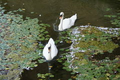 Pair of white swans swimming in a moat with water lily pads Stock Images