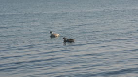 Pair of white swans. A pair of white swans swimming in the sea stock footage