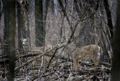 Pair of White-Tailed Deer (Odocoileus virginianus) - Camouflaged. Pair of White-Tailed Deer (Odocoileus virginianus) camouflaged in the woods Royalty Free Stock Images