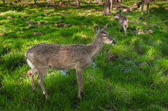 Pair of White-Tailed Deer (Odocoileus virginianus) Stand Stock Photos