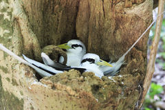 Pair of White-tailed tropicbird sitting in the Royalty Free Stock Images