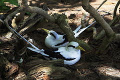 Pair of White-tailed tropicbird sitting in the Royalty Free Stock Photography