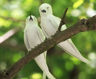 Pair of white terns sitting on a branch Royalty Free Stock Photos