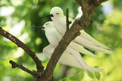 Pair of white terns sitting on a branch Royalty Free Stock Photography