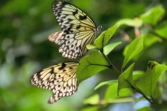 Pair of white tree nymphs in a tree. A pair of white tree nymph butterflies (idea luconoe) resting in a tropical tree Royalty Free Stock Images