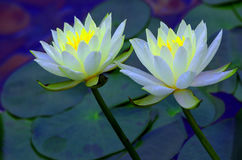Pair of white water lilies Royalty Free Stock Photography