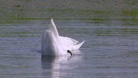 A pair of white wild swans birds swims in a lake. Swans immerse their heads in water, take algae out of the water and eat them. Summer morning stock video footage