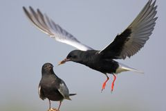 Pair of White-winged Black Tern birds feeding during a spring ne. Sting period Stock Images