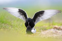 Pair of White-winged Black Tern birds on grassy wetlands during. A spring nesting period Royalty Free Stock Images