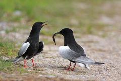 Pair of White-winged Black Tern birds on grassy wetlands during. A spring nesting period Stock Photography