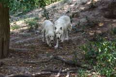 Pair of white wolves Canis lupus arctos walking in forest together.  stock image