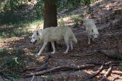 Pair of white wolves Canis lupus arctos walking in forest together royalty free stock image