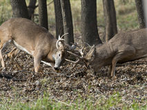 Pair of whitetail Deer Royalty Free Stock Photography