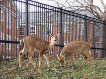 Pair of Whitetail Deer in the Neighborhood stock photo