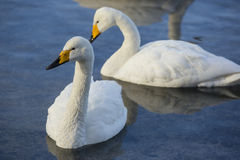 Pair of Whooper Swans Royalty Free Stock Image