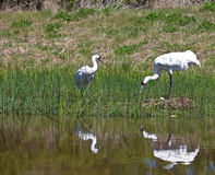 Pair of Whooping Cranes Royalty Free Stock Photo