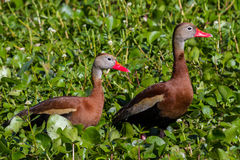 A Pair of Wild Black-bellied Whistling Ducks (Dendrocygna autumnalis) Feeding in the Water Hyacinth. Stock Photography