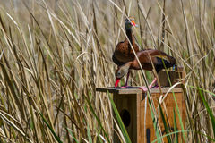 A Pair of Wild Black-bellied Whistling Ducks (Dendrocygna autumnalis) Moving in to their Spring Home. Stock Photos