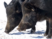 A pair of wild boar. In cold winter Royalty Free Stock Photos