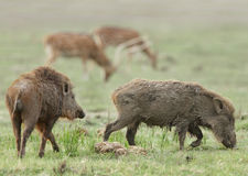 A pair of wild boars in the grassland of Jim Corbett Royalty Free Stock Image
