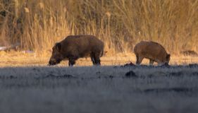 Pair of wild boars in search for food at underground field near the woods stock photography