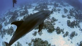 Pair of wild bottlenose dolphins stock footage